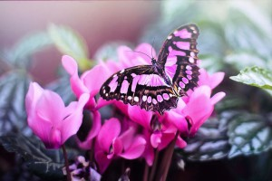 pink-butterfly-1281428_1920